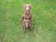 Chesapeake dogs