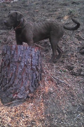 chesapeake-dog-carletonplace