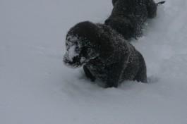 chesapeake-pup-in-the-snow
