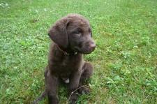 Chesapeake pup from Crampton's