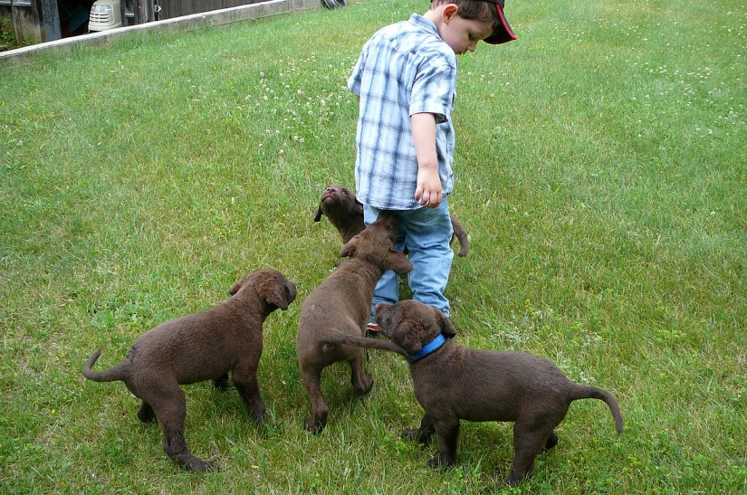Chesapeake pups from Crampton's in Eastern Ontario