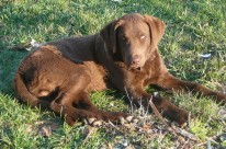 chesapeake-retriever-carleton-place
